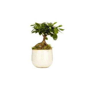Ficus ginseng avec cache-pot (sans mousse) Ø 12 cm 405550