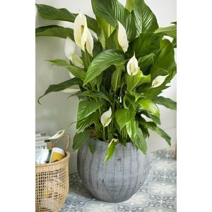 Spathiphyllum sensation avec cache-pot Ø 24 cm 405552