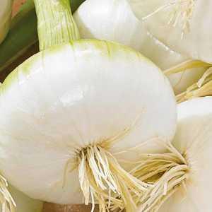 Oignon blanc de Rebouillon Cébette. La barquette de 12 plants 405913