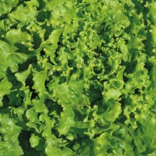 Laitue Batavia Verte. La barquette de 6 plants 405965