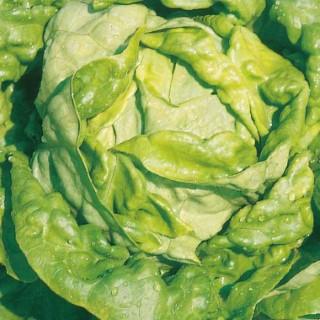 Laitue Pommée Analora. La barquette de  6 plants 405966