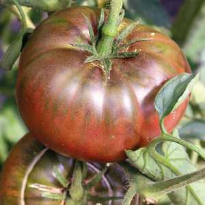 Tomate côtelée Noire de Crimée Greffée. Le pot de 1 litre 405989