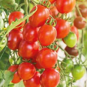 Tomate cerise allongée Romello. Le pot de 2,5 litres 406011