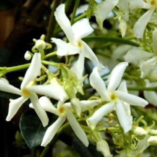 Jasmin étoilé palissé (Trachelospermum Jasminoides). Le pot 45 litres 411259