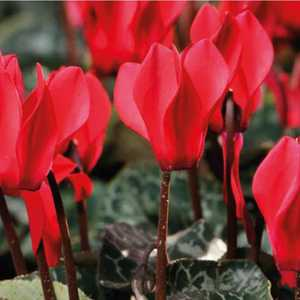 Mini cyclamen rouge. Le pot de diamètre 10,5 cm 412651