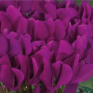 Mini cyclamen violet fonce. Le pot de diamètre 10,5 cm 412685