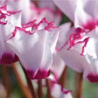 Mini cyclamen victoria®. Le pot de diamètre 10,5 cm 412782
