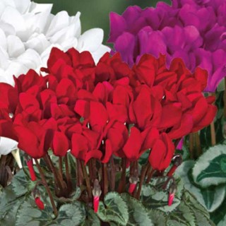Mini cyclamen decora®. Le pot de diamètre 10,5 cm 412784