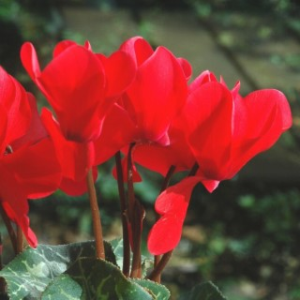 Cyclamen à grandes fleurs. Le pot terre cuite de 20 cm 412799