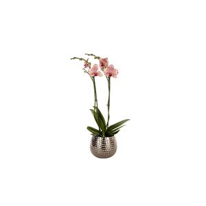 Mix de phalaenopsis en coupe de Ø 12 cm 412811