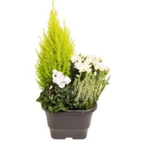 Composition d'extérieur mélange blanc et vert. Le pot de 25 x 25 cm 413608