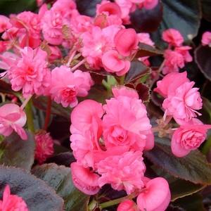 Bégonia à massif à fleurs doubles. Le pot de 2,5 litres 414040