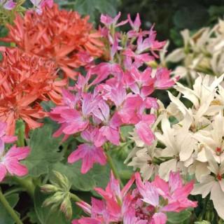 Geranium Zonal Etoile. La jardinière de 50 cm 414062