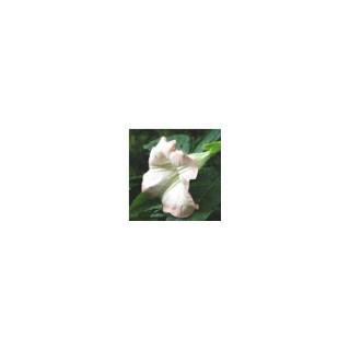 Dature Brugmansia rose. Le pot de 9x9 cm 414064