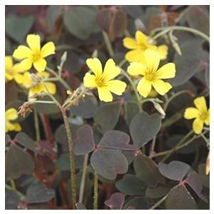 Oxalis vulcanicola. Le pot de 9x9 cm 414067
