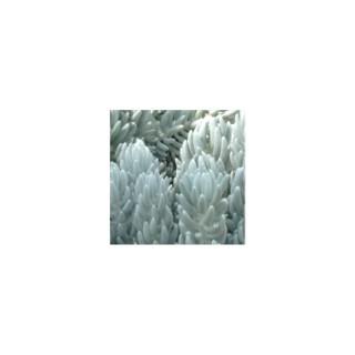 Séneçon haworthii vert en pot de 9 x 9 cm 414072