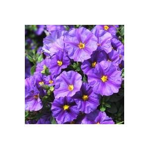 Solanum rantonnetii bleu en pot de 9 x 9 cm 414073