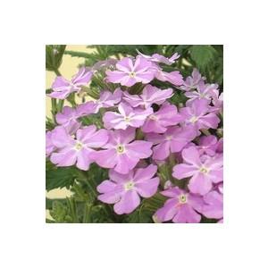 Verbena tapissante bleue en pot de 9 x 9 cm 414076