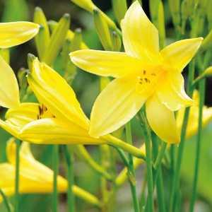 Hemerocallis Stella De Oro. Le pot de 1,6 litre 414087