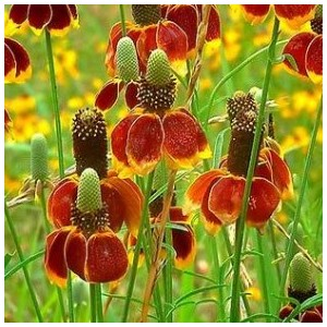 Ratibida columnifera rouge en pot de 1,6 L 414089