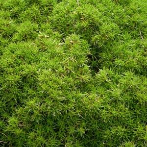 Sclaranthus vert avec pot en terre de 1 L 414424