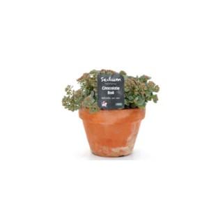 Sédum multicolore avec pot en terre de 1 L 414425