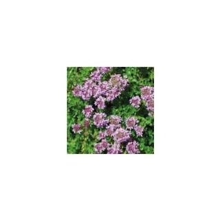 Thymus praeco rose avec pot en terre de 1 L 414427
