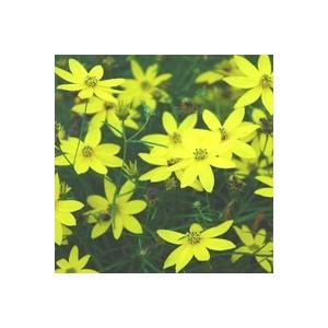 Coreopsis Verticillata. Le pot de 5 litres 414428