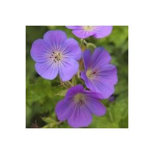 Geranium Rozane. Le pot de 5 litres 414433