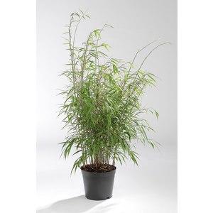 Bambou Fargesia Asia Wonder. Le pot de 4 litres 414528