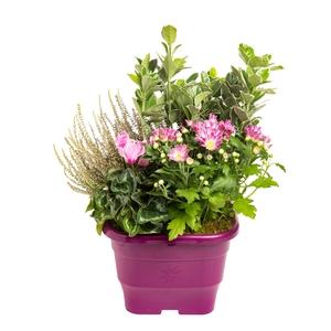 Composition d'extérieur mélange violet rose. Le pot de 25 x 25 cm 414739