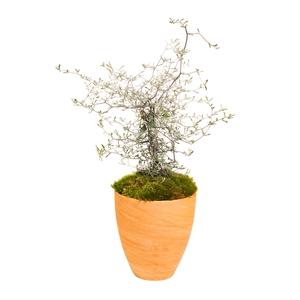 Corokia avec cache pot terre. Cache pot terre cuite 414766