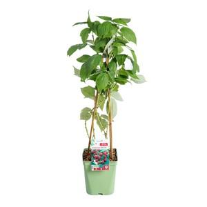 Framboisier Heritage botanic® - Pot de 5L 414814