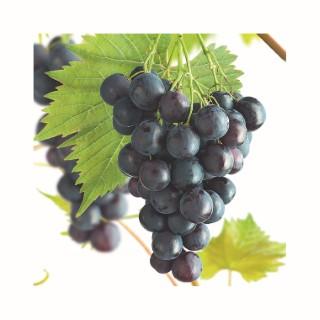 Vigne Muscat bleu en conteneur de 5 L 414825