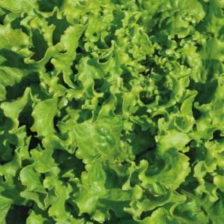 Laitue Batavia Verte Olana. La barquette de 12 plants 41486