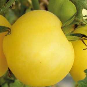 Tomate Cerise ronde Mirabelle Blanche bio. Le pot de 10.5 cm 41528