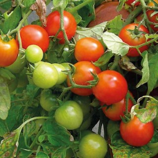 Tomate cerise rondeTumbling Tom Red. Le pot compostable de 10,5 cm 41529