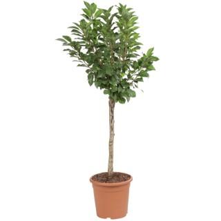 Cerisier Maynard nain 1/4 tige en conteneur de 7,5 L 415638