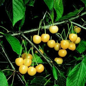 Cerisier Bigarreau Starck Gold 1/2 tige en conteneur de 15 L 415647