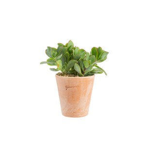 Crassula mix en pot terre cuite Ø 10 cm 415667