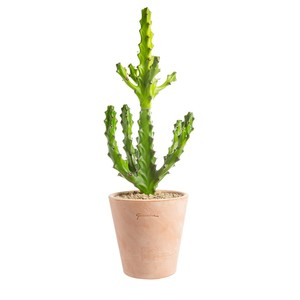 Euphorbia mayuranathanii en pot Terre cuite H 200 x Ø 15 cm 415682