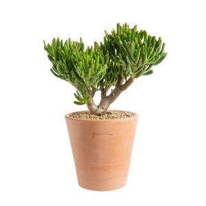 Crassula hobbit en pot Terre cuite H 100 x Ø 20 cm 415687