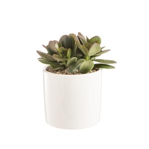 Crassula argentea en pot blanc émaillé H 100 x Ø 15 cm 415700