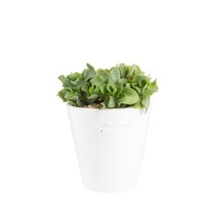Crassula arborescens en pot blanc émaillé H 100x Ø 15 cm 415704