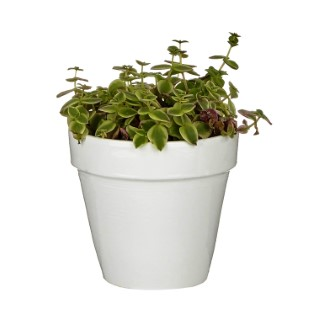 Crassula marginalis variegata en pot blanc émaillé H 15 x Ø 15 cm 415706