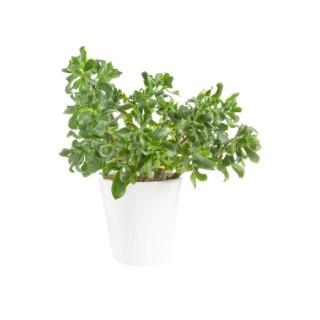 Crassula arborescens en pot blanc émaillé H 100 x Ø 20 cm 415719