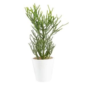 Euphorbia tirucalli en pot blanc émaillé H 200 x Ø 20 cm 415722