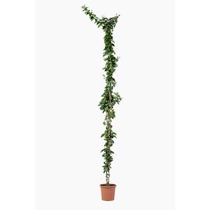 Jasminum Sambac (Jasmin d'Arabie) en pot de 7 L blanc 415785