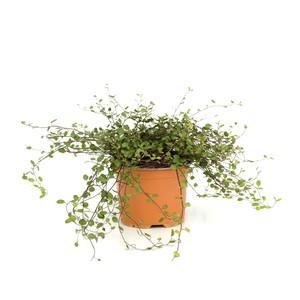 Muhlenbergia Capillaris. Le pot diam 12 cm 416165