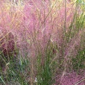 Eragrostis Spectabilis Purple Love Grass. Le pot de 3 litres 416180